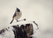 Titmouse Metal Prints - Snow Bird Metal Print by Heather Applegate