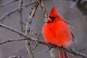 Metro Park Metal Prints - Snow Bird Metal Print by James Marvin Phelps