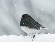 Cute Bird Photos - Snow Bird by Lara Ellis