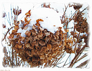 Dried Hydrangeas Prints - Snow Bonnet Print by Debbie Portwood