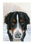 Berner Framed Prints - Snow Bumper Framed Print by Liane Weyers