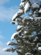 Ann Horn Photos - Snow-Clad Pine by Ann Horn