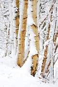 Kelly Digital Art Posters - Snow covered Birch trees Poster by John Kelly