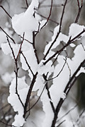 Snowflakes Metal Prints - Snow covered branches Metal Print by Elena Elisseeva