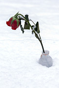 Snow Covered Photo Framed Prints - Snow-covered Rose Framed Print by Joana Kruse