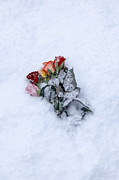 Green Rose Prints - Snow-covered Roses Print by Joana Kruse