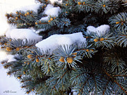 Snow Covered Spruce Print by Mikki Cucuzzo