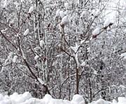 Gail Matthews - Snow covered Sumac Tree