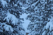 Snow Storm Prints Posters - Snow Covered Trees Poster by Fiona Kennard