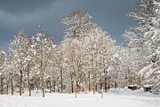 Snow-covered Landscape Metal Prints - Snow covered trees in the forest in winter Metal Print by Matthias Hauser