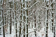 Snow-covered Landscape Digital Art Posters - Snow Covered Trees Poster by Pat Now