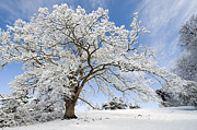 Wintry Posters - Snow Covered Winter Oak Tree Poster by Tim Gainey