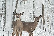 Intent Framed Prints - Snow Deer Framed Print by Douglas Barnett