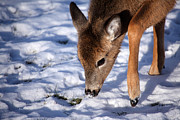 Deer In Snow Prints - Snow Digging Print by Karol  Livote