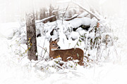 Deer In Snow Prints - Snow Doe Print by Karol  Livote