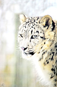 Snow Leopards Prints - Snow Dreams Print by Emily Stauring