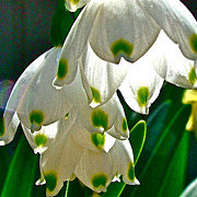 Snow Drops In Park Sierra Near Coarsegold-ca Print by Ruth Hager