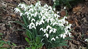 Snow Drops Print by John Williams