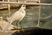 Snowy Night Night Photo Prints - Snow Egret IV Print by Rene Triay Photography