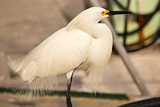 Snowy Night Night Photo Prints - Snow Egret Print by Rene Triay Photography