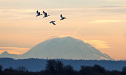 Max Waugh - Snow Geese and Rainier