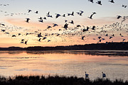 Migratory Framed Prints - Snow geese at Chincoteague Last Flight of the Day Framed Print by Bill Swindaman