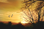 Tomas Images - Snow Geese At Sunset