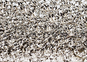 Birds In Snow Posters - Snow Geese Blast Off Poster by Bill Swindaman