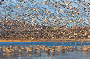 Snow Goose Prints - Snow Geese Blast-off Print by Clarence Holmes