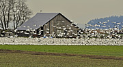 Barn Lots Photos - Snow Geese by Old Barn by Valerie Garner