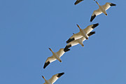 The Flight Of The Snow Geese Framed Prints - Snow Geese Flying South for the Winter Framed Print by Peggy Collins