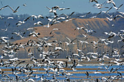 Lisa Plymell - Snow Geese in Flight