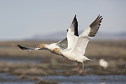 Flying Snow Goose Prints - Snow Geese in Flight Print by Tim Grams