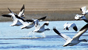 Refuge Prints - Snow Geese In Formation Print by Terril Heilman