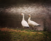 Wild Geese Framed Prints - Snow Geese Framed Print by Jai Johnson