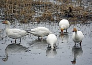 Snow Geese Photos - Snow Geese Muddy Waters by Debra  Miller