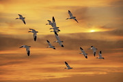 Tomas Images - Snow Geese Of Autumn