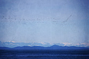 Snow Geese Mixed Media - Snow Geese Over the Ocean by Peggy Collins