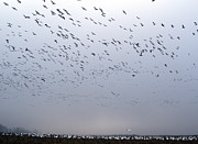 Kinds Of Birds Posters - Snow Geese  Poster by Skip Willits