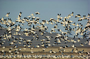 Flying Snow Goose Prints - Snow Goose Chen Caerulescens Flock Print by Gerry Ellis