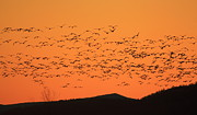 Snow Goose Posters - Snow Goose Flock at Dawn Poster by John Burk