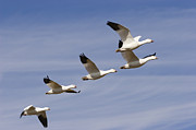 Flying Snow Goose Prints - Snow Goose Flock Flying Print by Konrad Wothe