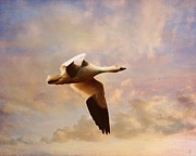 Snow Geese Posters - Snow Goose in Flight Poster by Jai Johnson