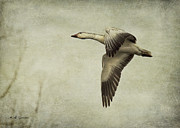 Goose In Water Posters - Snow Goose in Flight Poster by Jeff Swanson