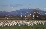 Snow Geese Prints - Snow Goose Migration Dead Creek Vermont Print by John Burk