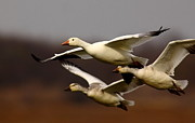 Morph Photo Posters - Snow Goose Migration Poster by Robert Frederick