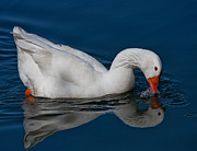 John Haldane Prints - Snow Goose Reflected Print by John Haldane