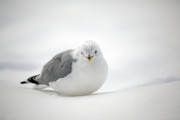 Ring Billed Posters - Snow Gull Poster by Karol  Livote