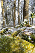 Hemlock Prints - Snow in Forest Print by Thomas R Fletcher