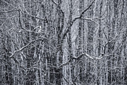 Snow Storm Art - Snow in the Forest by Diane Diederich